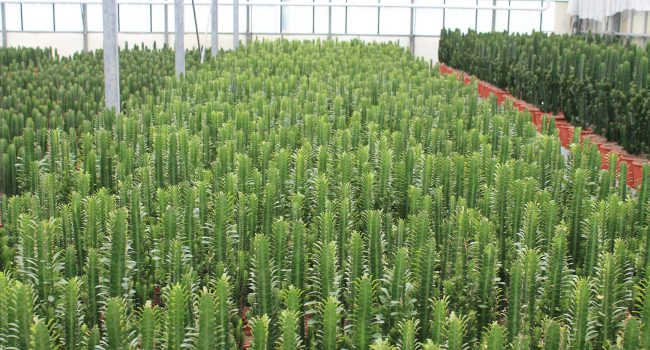 Cereus cactus kwekerij