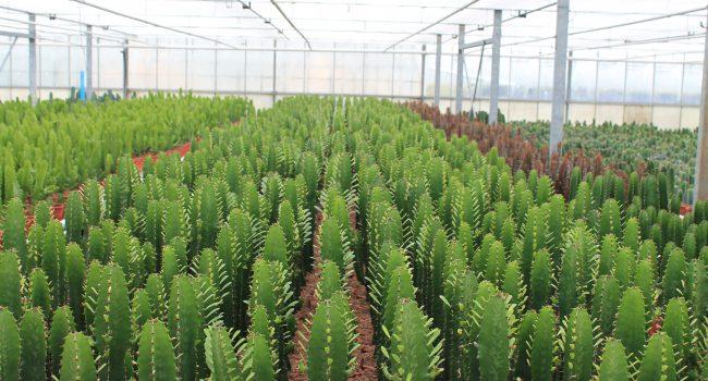 Euphorbia cactus kwekerij