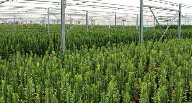 Cactus kwekerij honselersdijk